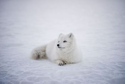white wolfe in snow