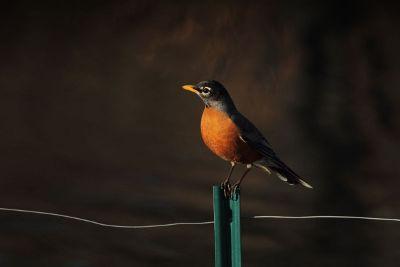 a robin on a fence