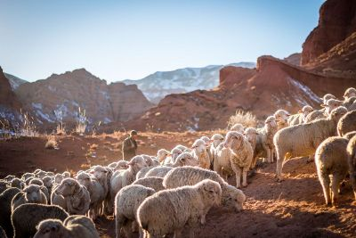 sheep with a shepard in desert