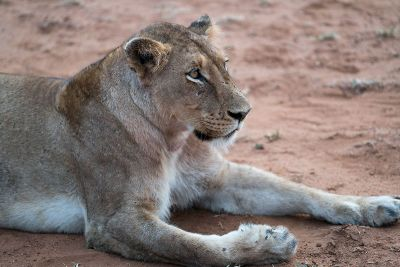 a resting lioness