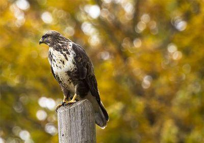 hawk sitting on a post