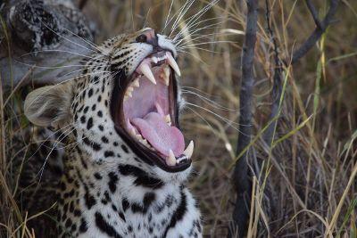 roaring animal