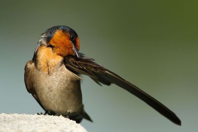 bird scratching wing