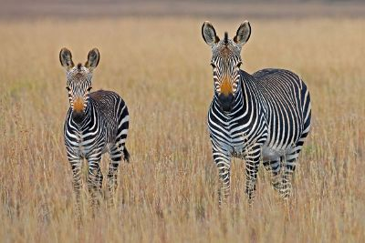 zebras looking at camera