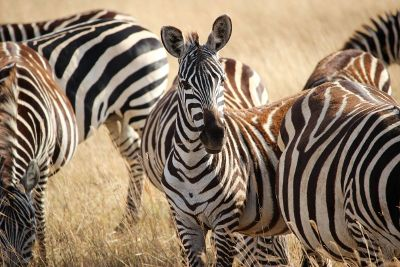 portrait of zebra in pack