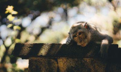 a thoughtful monkey