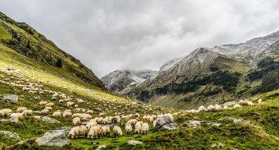 mountain sheep grazing