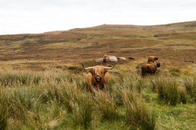 family bull on hill