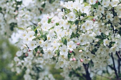 bushes of white flowers