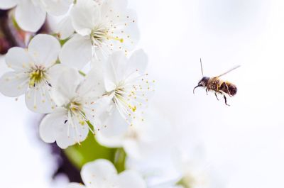 bee with white flowers