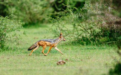 fox walking in nature