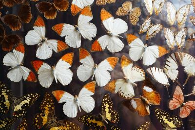 a lot of butterflies together