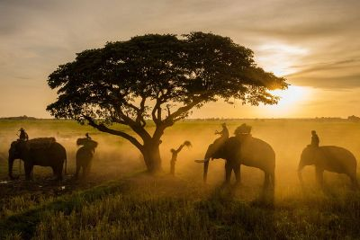 elephant under a single tree